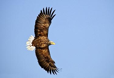 White-tailed Eagle (Haliaeetus albicilla) flying, Flatanger, Norway  -  Sven Zacek/ NiS