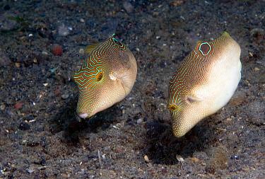False-eyed Pufferfish (Canthigaster papua) pair, Lembeh, Sulawesi, Indonesia  -  Dray van Beeck/ NiS