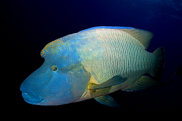 Double-headed Maori Wrasse (Cheilinus undulatus) male, Red Sea, Egypt  -  Dray van Beeck/ NiS