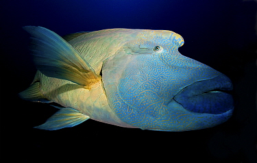 Double-headed Maori Wrasse (Cheilinus undulatus), Red Sea, Egypt  -  Dray van Beeck/ NiS