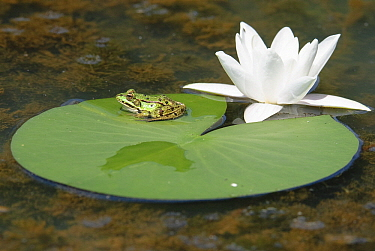 Edible Frog (Rana esculenta) sitting on a leaf of White Water Lily (Nymphaea alba), La Brenne, Indre, France  -  Danny Laps/ NiS