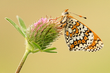 Glanville Fritillary (Melitaea cinxia) butterfly on Clover (Trifolium sp), La Brenne, Indre, France  -  Danny Laps/ NiS