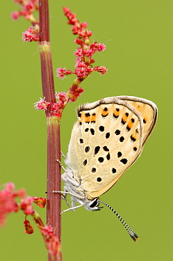 Sooty Copper (Lycaena tityrus) butterfly on Common Sorrel (Rumex acetosa), La Brenne, Indre, France  -  Danny Laps/ NiS