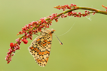 Glanville Fritillary (Melitaea cinxia) butterfly on Common Sorrel (Rumex acetosa) covered with dewdrops, La Brenne, Indre, France  -  Danny Laps/ NiS