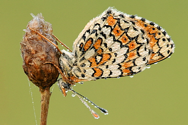 Glanville Fritillary (Melitaea cinxia) butterfly early in the morning with dewdrops on its wings, La Brenne, Indre, France  -  Danny Laps/ NiS