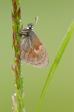 Small Heath (Coenonympha pamphilus) butterfly on grass covered with dewdrops, La Brenne, Indre, France  -  Danny Laps/ NiS