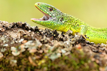 European Green Lizard (Lacerta viridis) with open mouth, La Brenne, Indre, France  -  Danny Laps/ NiS