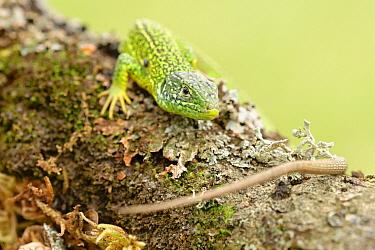 European Green Lizard (Lacerta viridis) sunbathing on a tree trunk, La Brenne, Indre, France  -  Danny Laps/ NiS