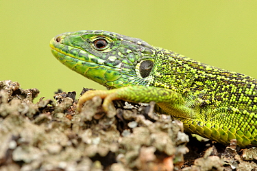 European Green Lizard (Lacerta viridis), La Brenne, Indre, France  -  Danny Laps/ NiS