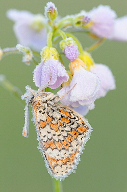 Glanville Fritillary (Melitaea cinxia) covered in ice on Cuckoo Flower (Cardamine pratensis), La Brenne, Indre, France  -  Danny Laps/ NiS