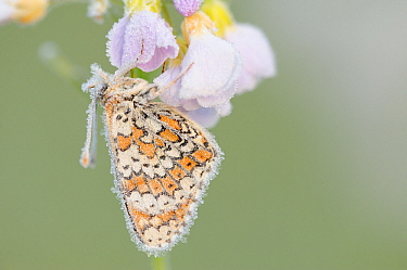Glanville Fritillary (Melitaea cinxia) butterfly covered in frost, La Brenne, Indre, France  -  Danny Laps/ NiS