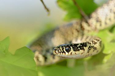 Western Whipsnake (Hierophis viridiflavus), La Brenne, Indre, France  -  Danny Laps/ NiS