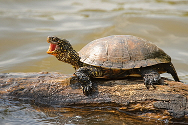 European Pond Turtle (Emys orbicularis) on a tree trunk in the water yawning, La Brenne, Indre, France  -  Danny Laps/ NiS