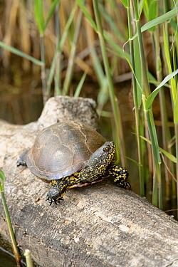European Pond Turtle (Emys orbicularis) on log, La Brenne, Indre, France  -  Danny Laps/ NiS
