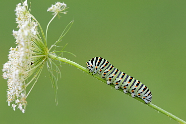 Oldworld Swallowtail (Papilio machaon) caterpillar on Carrot (Daucus carota) flower, La Brenne, Indre, France  -  Danny Laps/ NiS