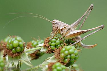 Dark Bush Cricket (Pholidoptera griseoaptera) female on Bramble (Rubus sp), La Brenne, Indre, France  -  Danny Laps/ NiS