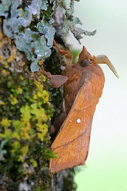 Plum Lappet (Odonestis pruni), La Brenne, Indre, France  -  Danny Laps/ NiS