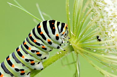Oldworld Swallowtail (Papilio machaon) caterpillar feeding on Carrot (Daucus carota) flower, La Brenne, Indre, France  -  Danny Laps/ NiS
