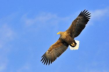 White-tailed Eagle (Haliaeetus albicilla) flying, Kushiro, Akan National Park, Hokkaido, Japan  -  Philip Friskorn/ NiS