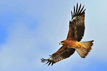 Black Kite (Milvus migrans) flying, Kushiro, Akan National Park, Hokkaido, Japan  -  Philip Friskorn/ NiS