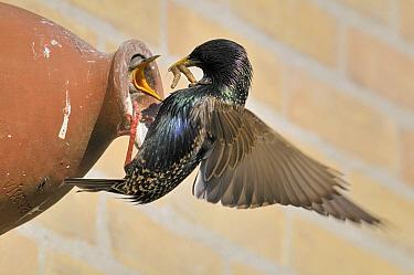 Common Starling (Sturnus vulgaris) feeding juvenile begging at opening to artificial nest, Oldemarkt, Overijssel, Netherlands  -  Philip Friskorn/ NiS