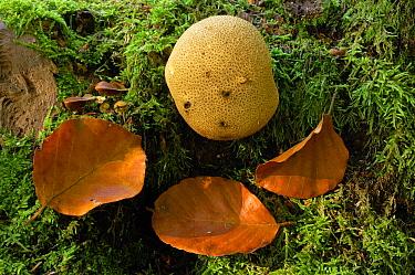 Mosaic Puffball (Calvatia utriformis), Springendal, Twente, Netherlands  -  Philip Friskorn/ NiS