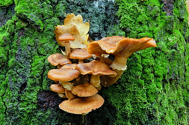 Honey Fungus (Armillaria mellea) on the foot of a beech tree, Steile Oever, Ommen, Netherlands  -  Philip Friskorn/ NiS