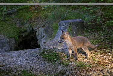 Red Fox (Vulpes vulpes) pup at den entrance, Leersumse Veld, Utrecht, Netherlands  -  Ronald Stiefelhagen/ NiS