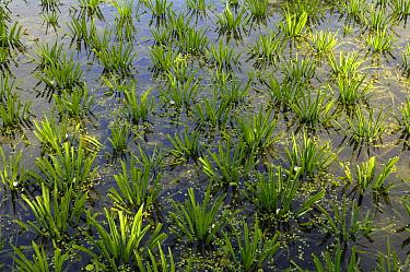 Water Soldier (Stratiotes aloides), Kalenberg, Overijssel, Netherlands  -  Philip Friskorn/ NiS