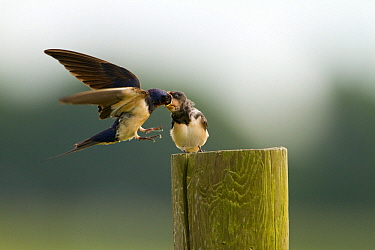 Barn Swallow (Hirundo rustica) feeding a juvenile, Netherlands  -  Joke Stuurman/ NiS