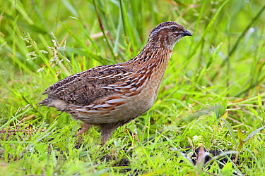 Common Quail (Coturnix coturnix) female, Netherlands  -  Joke Stuurman/ NiS