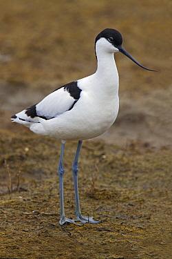 Pied Avocet (Recurvirostra avosetta), Netherlands  -  Joke Stuurman/ NiS