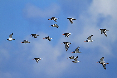 Eurasian Oystercatcher (Haematopus ostralegus) flock flying, Netherlands  -  Joke Stuurman/ NiS