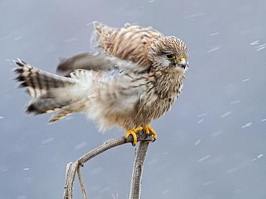 Eurasian Kestrel (Falco tinnunculus), Netherlands  -  Alexander  Koenders/ NiS