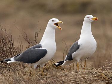 Lesser Black-backed Gull (Larus fuscus) pair, Netherlands  -  Alexander  Koenders/ NiS