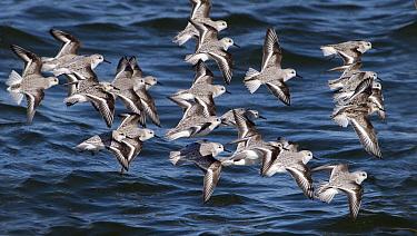 Sanderling (Calidris alba) flock flying, Noord-Holland, Netherlands  -  Alexander  Koenders/ NiS