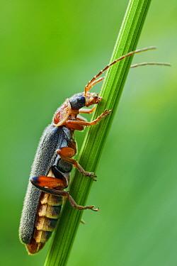 Common Soldier Beetle (Cantharis nigricans), Wehrheim, Hessen, Germany  -  Wahrmut Sobainsky/ NiS