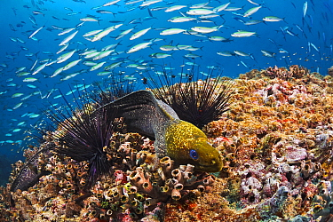 Common Hawaiian Moray (Gymnothorax undulatus) on coral reef, Indonesia  -  Wahrmut Sobainsky/ NiS