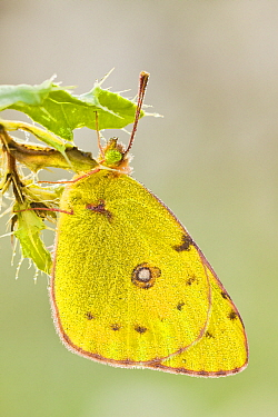 Clouded Yellow (Colias croceus) butterfly male, Rodheim, Germany  -  Wahrmut Sobainsky/ NiS