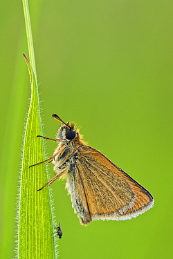 European Skipper (Thymelicus lineola) butterfly, Bad Homburg, Hessen, Germany  -  Wahrmut Sobainsky/ NiS