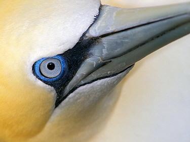 Northern Gannet (Morus bassanus), Noss, Shetland Islands, Scotland, United Kingdom  -  Melvin Redeker / Buiten-beeld