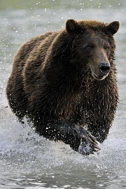 Grizzly Bear (Ursus arctos horribilis) hunting for salmon, Kinak Bay, Katmai National Park, Alaska  -  Andre Gilden/ NIS