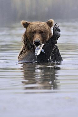 Grizzly Bear (Ursus arctos horribilis) catching salmon, Kinak Bay, Katmai National Park, Alaska  -  Andre Gilden/ NIS