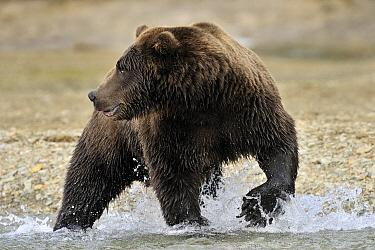Grizzly Bear (Ursus arctos horribilis) hunting for salmon in river, Kinak Bay, Katmai National Park, Alaska  -  Andre Gilden/ NIS