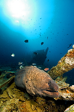 Giant Moray Eel (Gymnothorax javanicus), Red Sea, Egypt  -  Dray van Beeck/ NiS