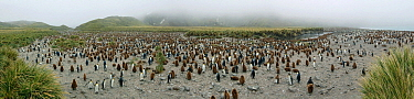 King Penguin (Aptenodytes patagonicus) breeding colony with adults and chicks, Gold Harbor, South Georgia Island, Antarctica  -  Jan Vermeer