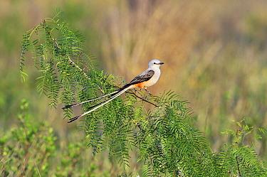 Scissor-tailed Flycatcher (Tyrannus forficatus) male in a Mesquite (Prosopis juliflora) bush, Hebbronville, Texas  -  Jasper Doest