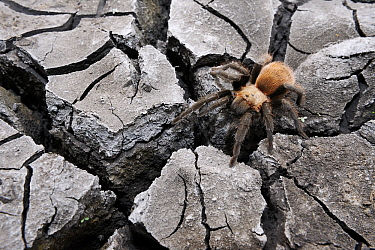 Texas Brown Tarantula (Aphonopelma hentzi) on dry and cracked mud, Hebbronville, Texas  -  Jasper Doest