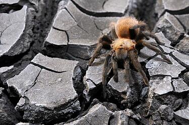 Texas Brown Tarantula (Aphonopelma hentzi) on dry earth, Hebbronville, Texas  -  Jasper Doest