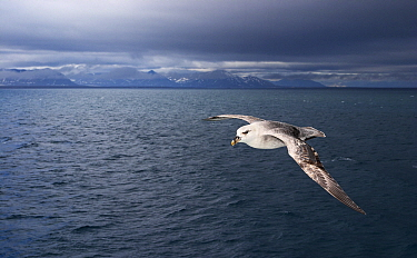 Northern Fulmar (Fulmarus glacialis) flying over ocean, Isfjorden, Svalbard, Norway  -  Jasper Doest